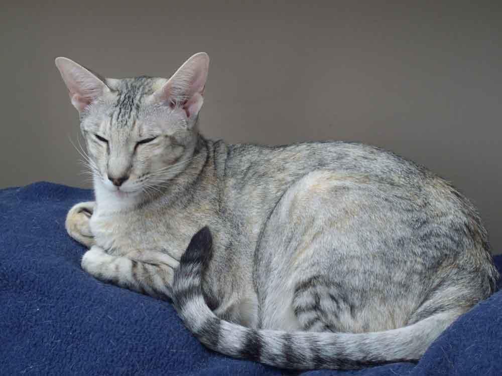 white cat blue eyes breed