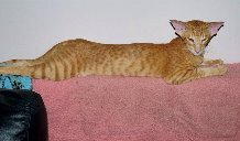 Red Spotted Tabby (Oriental Long Hair Variant)