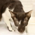 oriental-cats-1