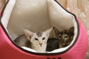 oriental-cats-10