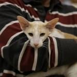 oriental-cats-3