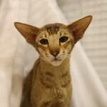 oriental-cats-4