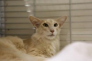 oriental-cats-9