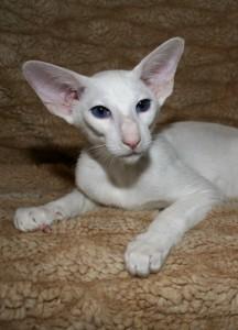 The Oriental Selfs Oriental Cat Association